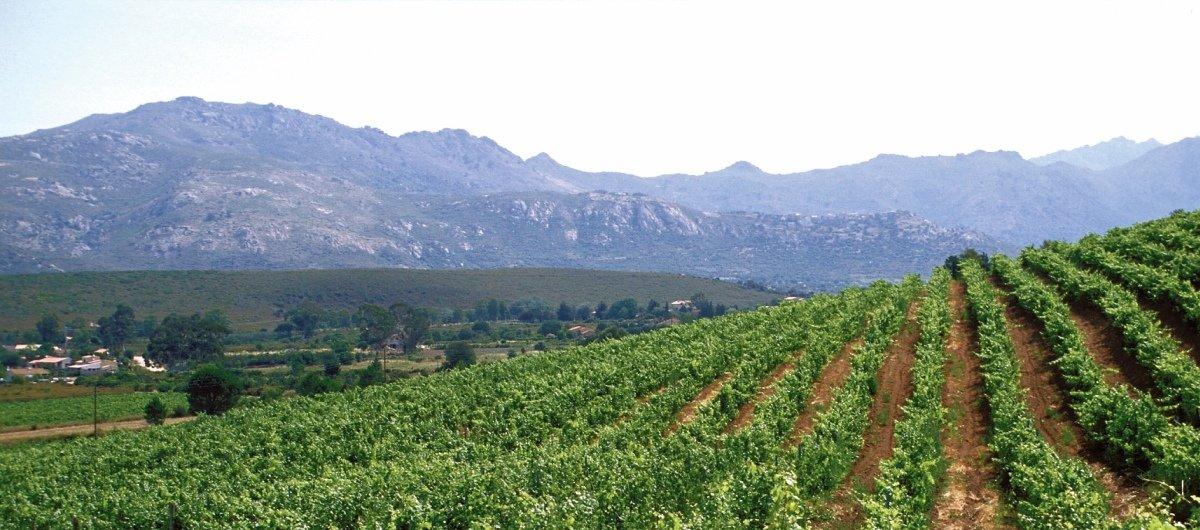 Vineyards in Sardinia